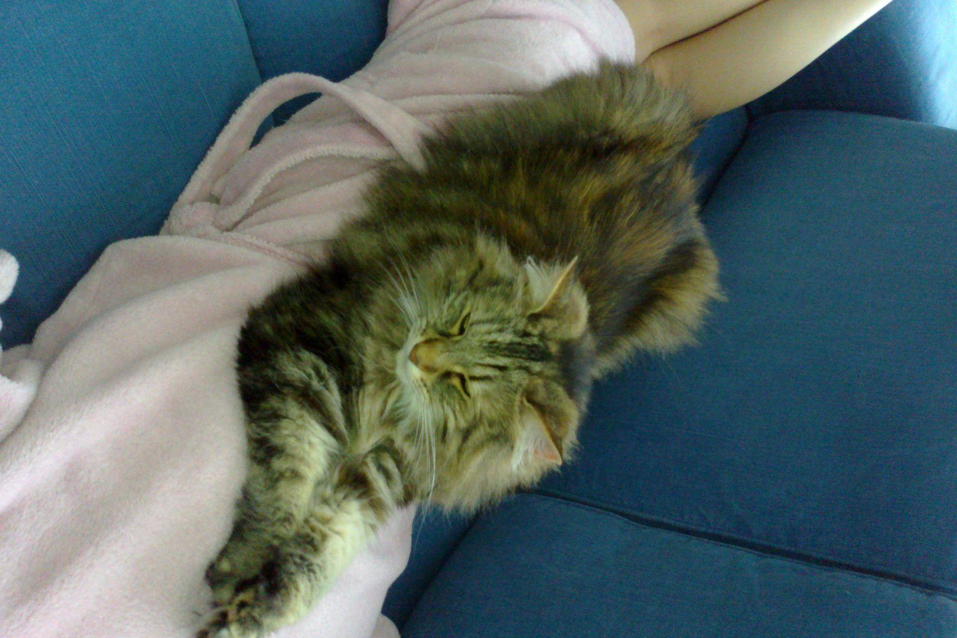 Kodi is een Noorse boskat, bruin van kleur. Ze is 15 jaar oud, is gechipped en draagt mogelijk nog een halsbandje met belletje en kokertje