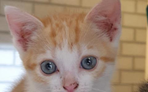 kitten Silvan