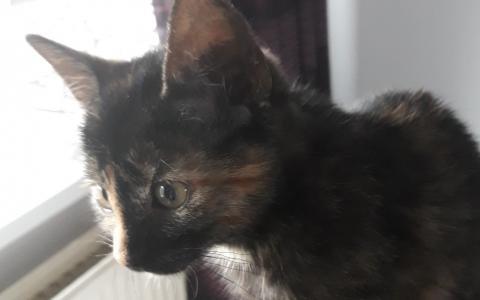 kitten Indra