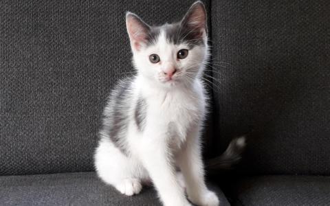kitten Toby